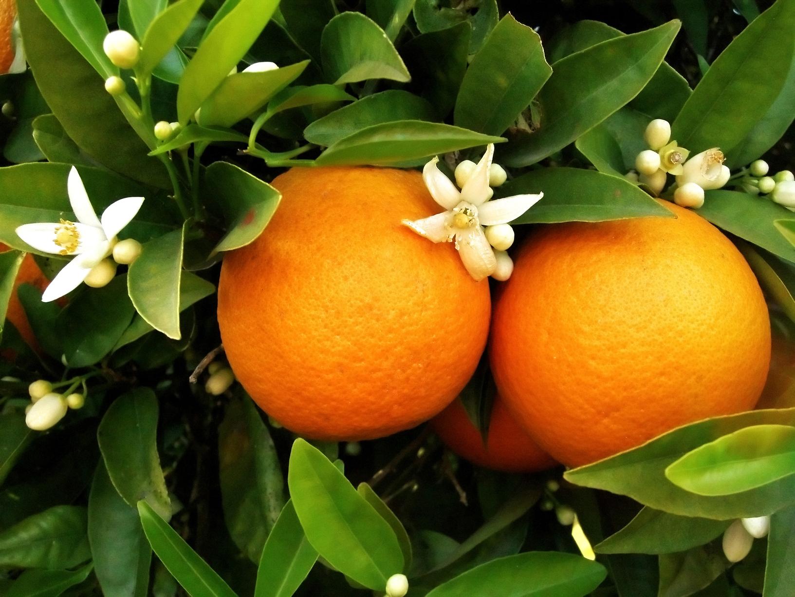 """""""شجرتي شجرة البرتقال الرائعة"""""""